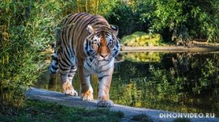 tigr-progulka-priroda