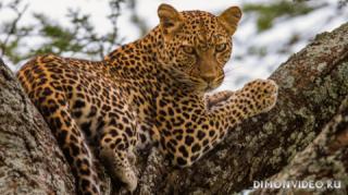 leopard-dikaia-koshka-na-dereve