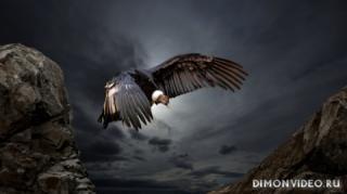 condor-ptitsa-priroda