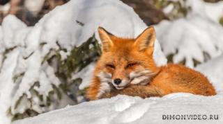 lisa-ryzhaia-zima-sneg