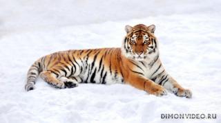 tigr-sneg-zima-priroda