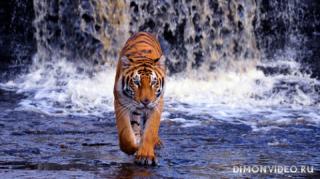tiger-voda-vodopad
