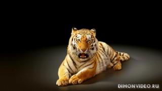 tigr-svet-fon