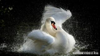 ozero-voda-bryzgi-lebed