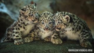 leopardy-kotiata-detionyshi