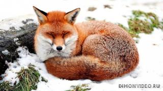 animals-foxes-01
