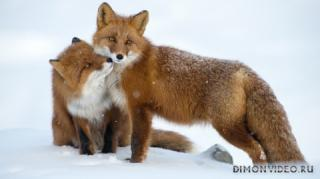 animals-foxes-02