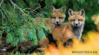 animals-foxes-03