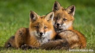 animals-foxes-04