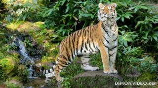ussuriysky-tiger-01
