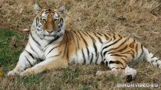ussuriysky-tiger-02