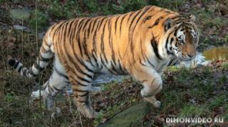 ussuriysky-tiger-03