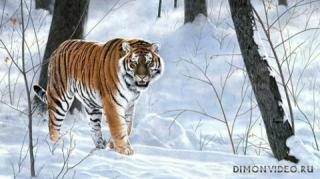 ussuriysky-tiger-04