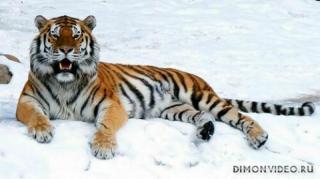 ussuriysky-tiger-06