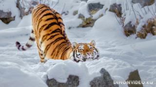 ussuriysky-tiger-07
