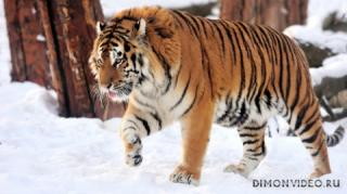 ussuriysky-tiger-08