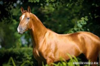 Самые красивые лошади мира 14