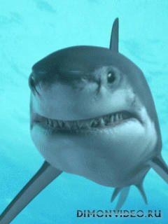 Акула / Shark